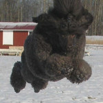 Rufus-hoppar